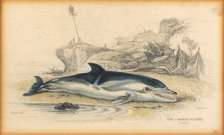 The Common Dolphin. Cuvier. James Hope Stewart, William Horne Lizars, artist, engraver.