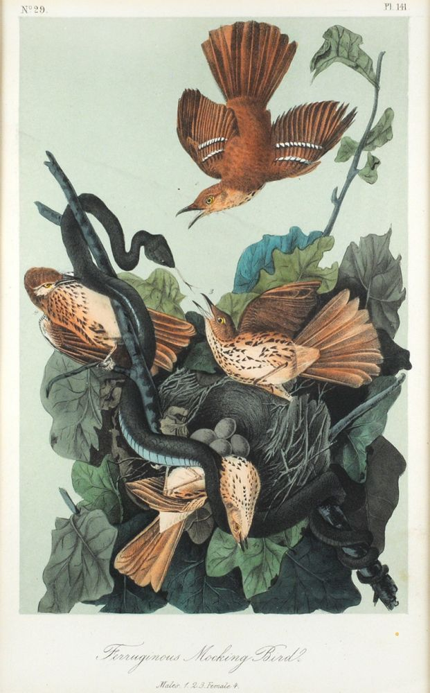 Furruginous Mocking Birds. Males. 1. 2. 3. Female 4. J. J. Audubon.