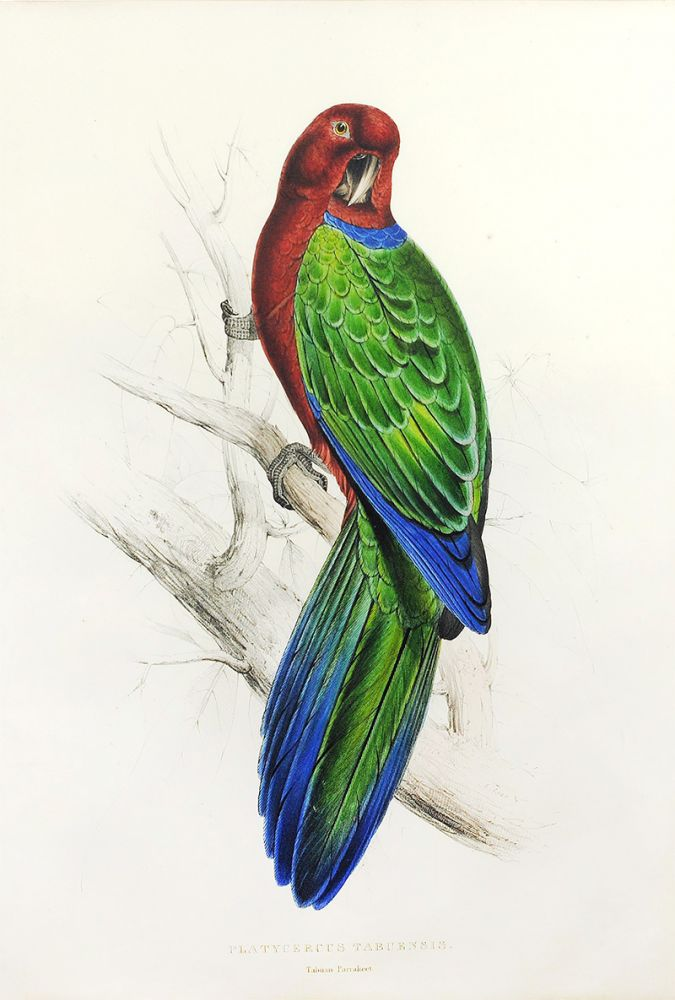 """Tabuan Parakeet"" from ""Illustrations of the Family of Psitta, or Parrots"" Edward Lear."