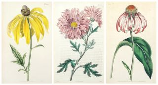 3 Plates from Curtis's Botanical Magazine: Rudbeckia Purpurea, Rudbeckia pinnata, and...