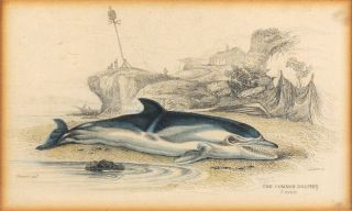 The Common Dolphin. Cuvier. James Hope Stewart, William Horne Lizars, artist, engraver