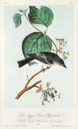 Short-legged Pewit Flycatcher. (Hobble Bush Vibernum Lantanerdes. Male. J. J. Audubon